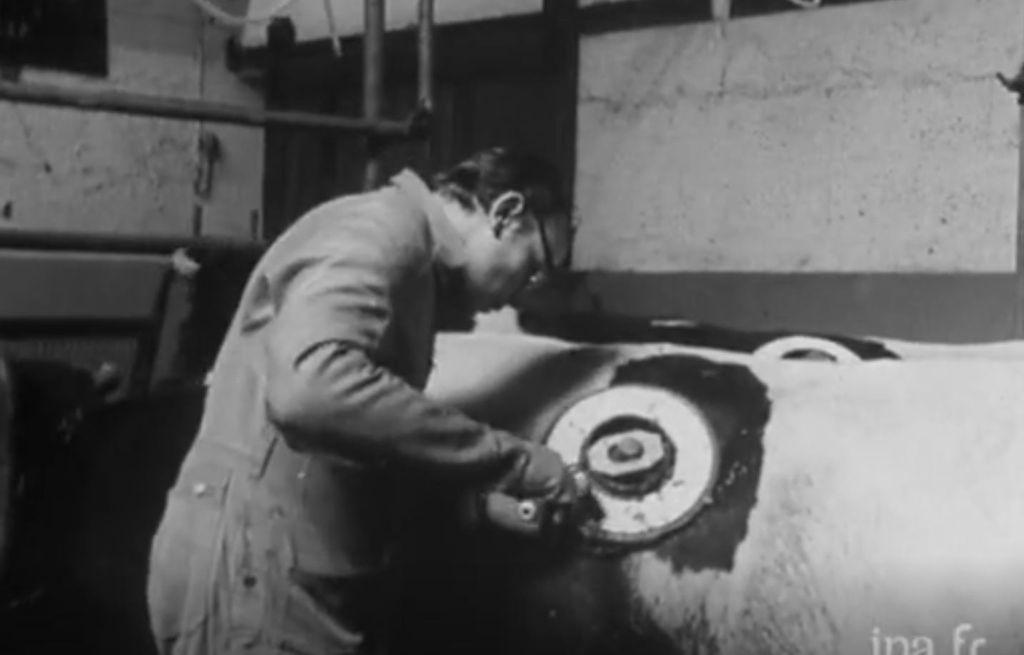 Vaches à hublot : l'INRA expliquait ses recherches dès les années 70