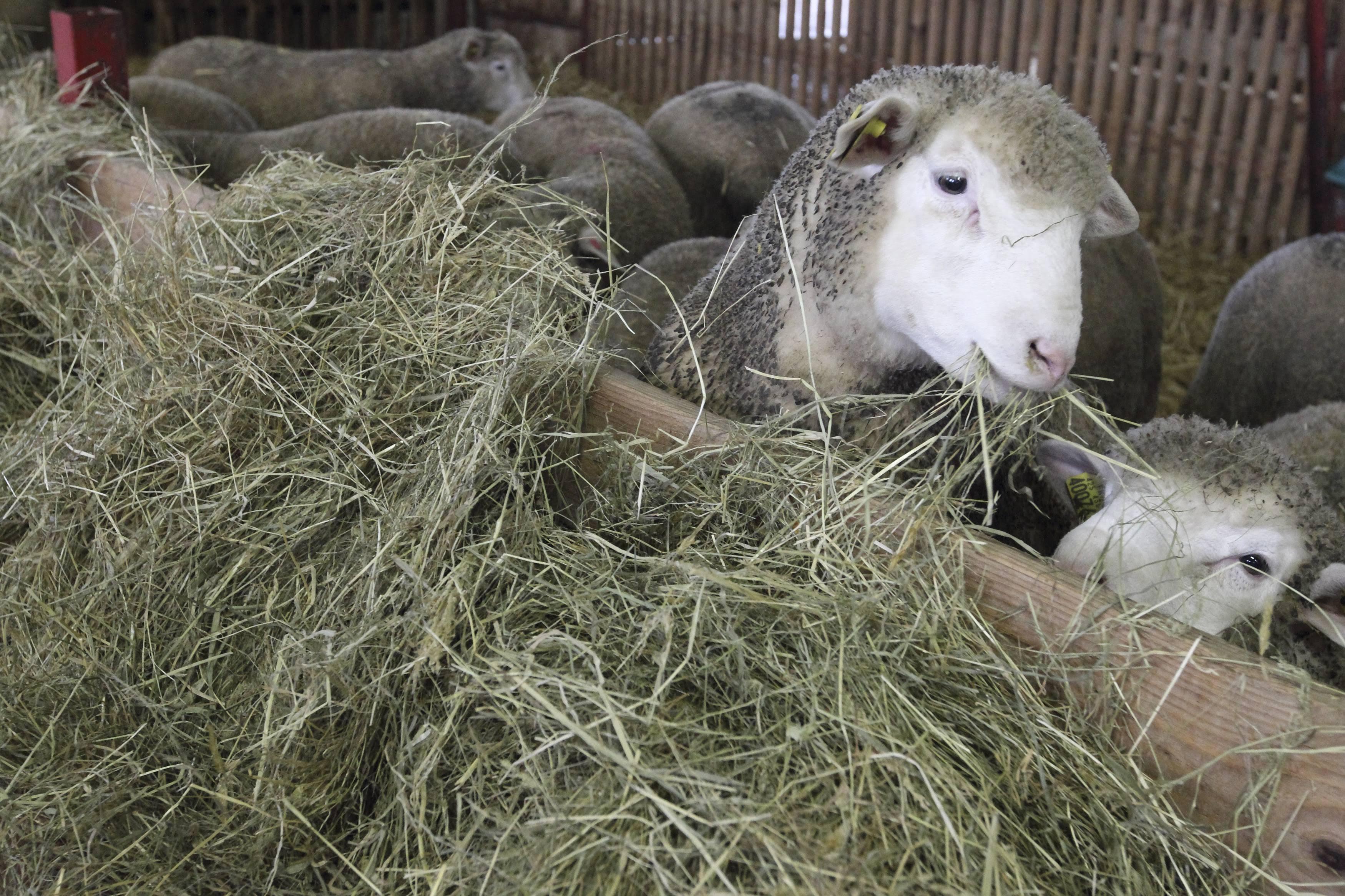 #AgriGoodNews : prix de l'agneau, du jamais vu depuis 20 ans