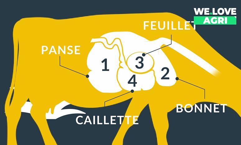 [Prends-en de la graine !] : Pourquoi dit-on que les vaches ruminent ?